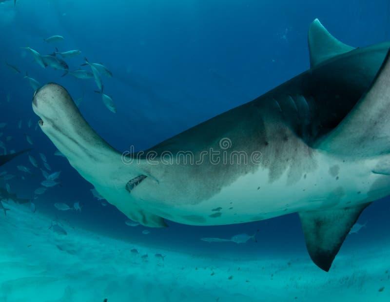 hammerhead rekin w Bahamas obrazy royalty free