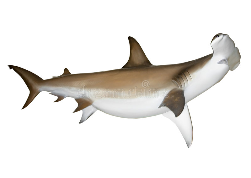Hammerhead shark. Isolated man eating hammerhead shark