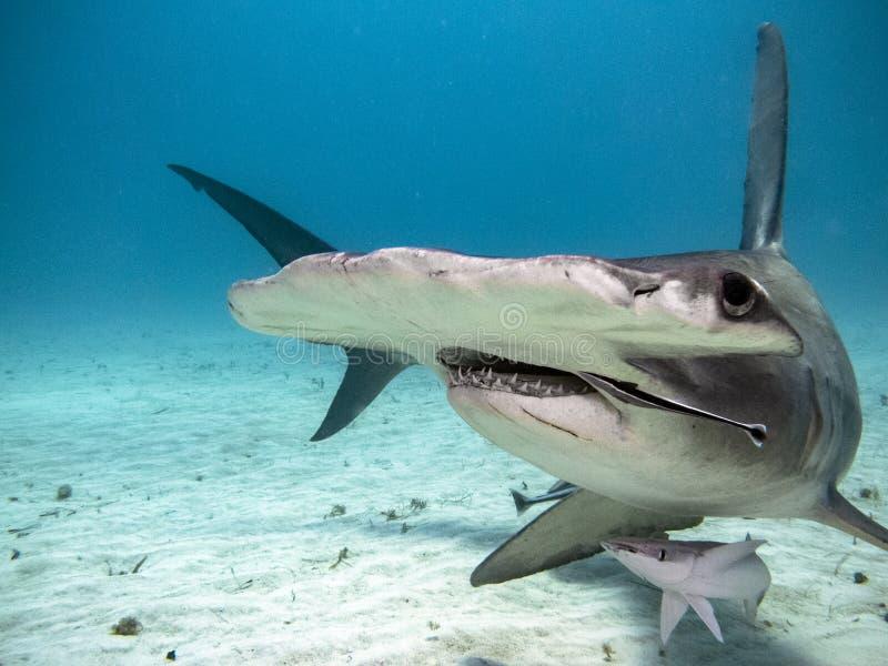 Hammerhead shark with baby stock afbeeldingen