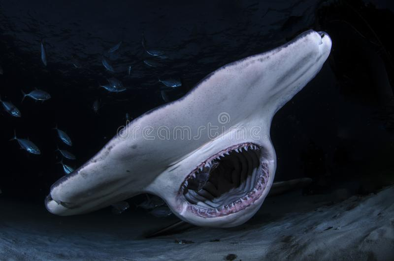Hammerhead Shark with Open Mouth Showing Teeth in Dark Waters of Bahamas stock photography