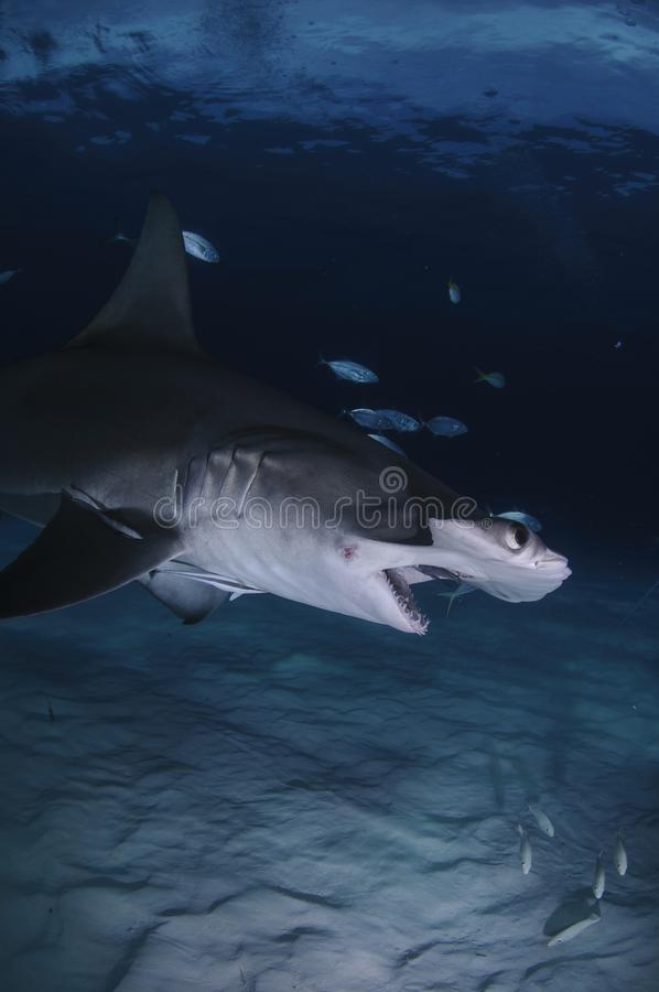 Hammerhead Shark Swimming among Divers with Open Mouth in Bahamas stock photo