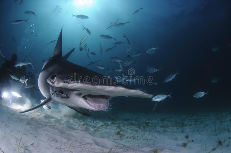 Hammerhead Shark Swimming among Divers with Open Mouth in Bahamas stock images
