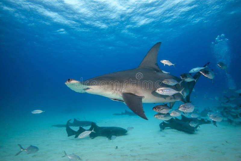 Hammerhead shark and vrienden stock afbeeldingen