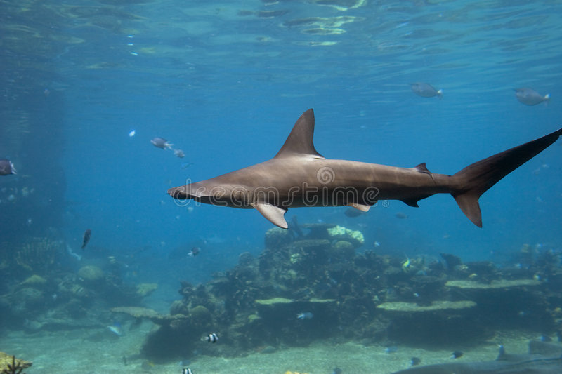 Download HammerHed stock image. Image of wildlife, hammerhead, coral - 4872995