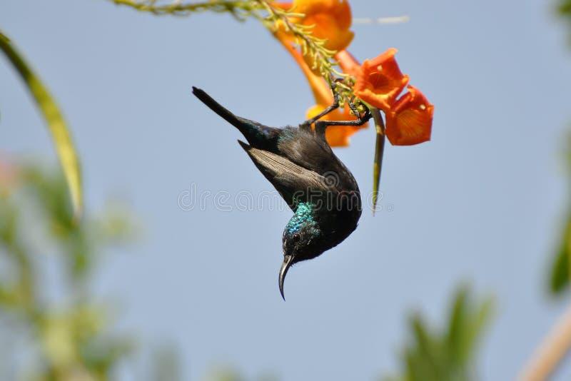 Hamming bird stock image
