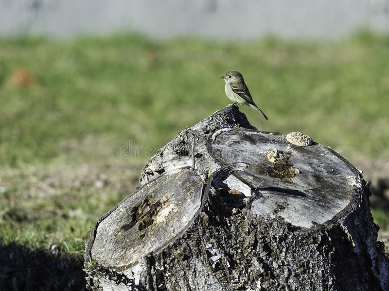Hammond`s Flycatcher perched on stump royalty free stock photos