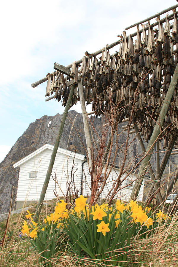 Hamnoy's rorbu, narcissus and stockfish stock photography