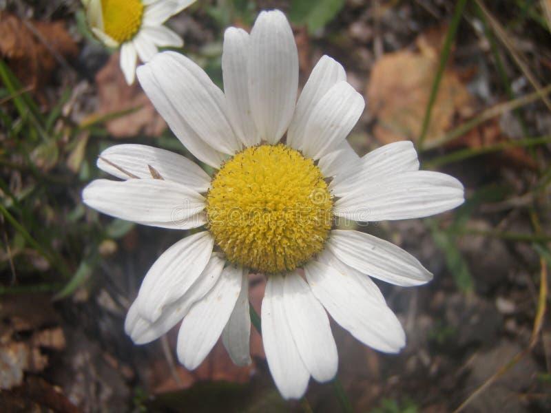 Hamomile λουλούδι Ð ¡ στοκ φωτογραφίες με δικαίωμα ελεύθερης χρήσης