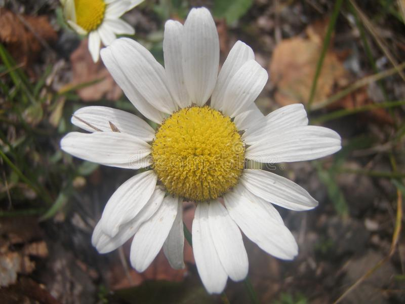 Hamomile bloem Ð ¡ royalty-vrije stock foto's