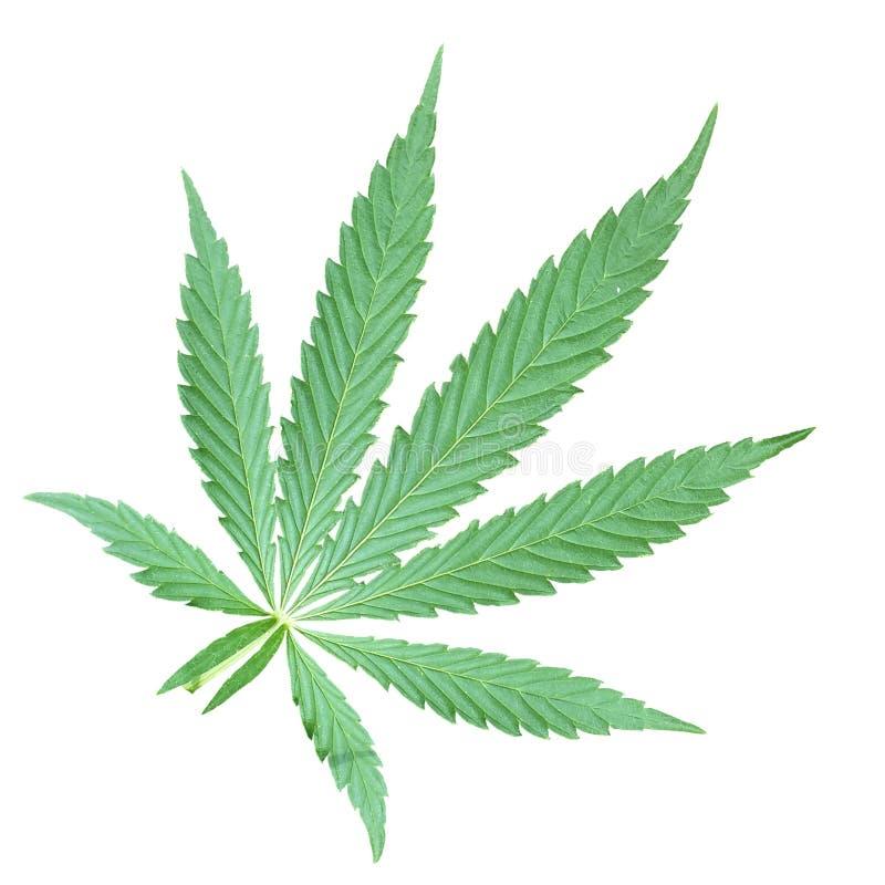 Hampamarijuana royaltyfri foto