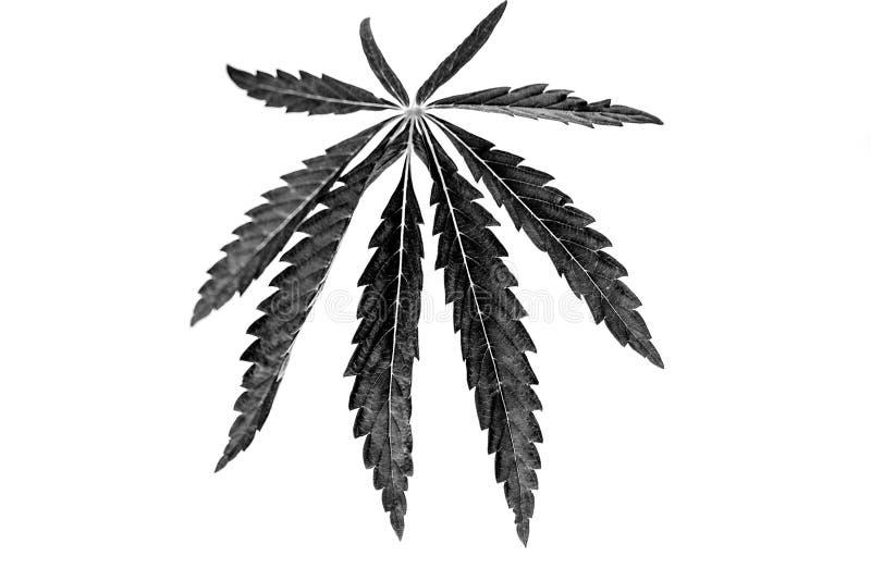 Hampamarijuana på en isolerad bakgrund royaltyfria bilder