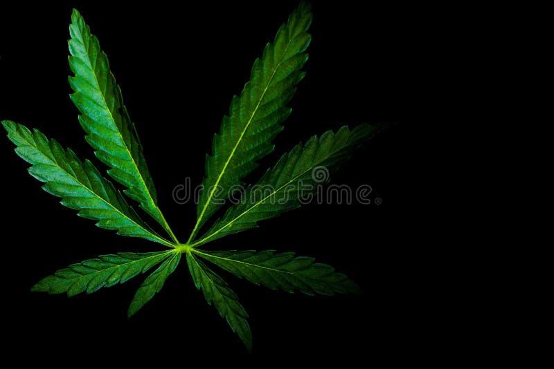 Hampamarijuana på en isolerad bakgrund arkivfoton