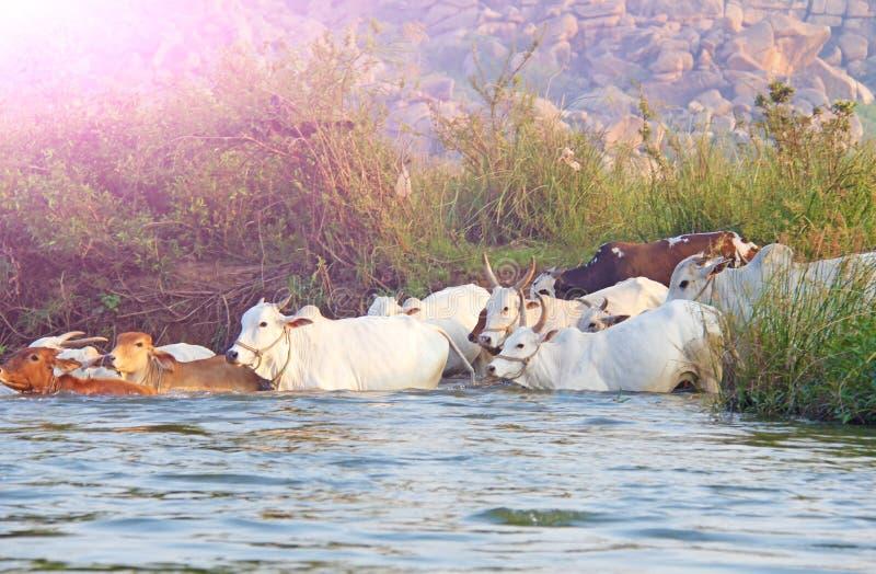 Hampi India Un gregge delle mucche che guadano attraverso il fiume fotografia stock