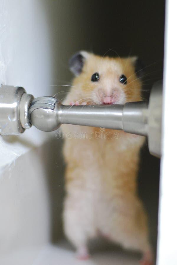 Hamster-Übung lizenzfreies stockfoto