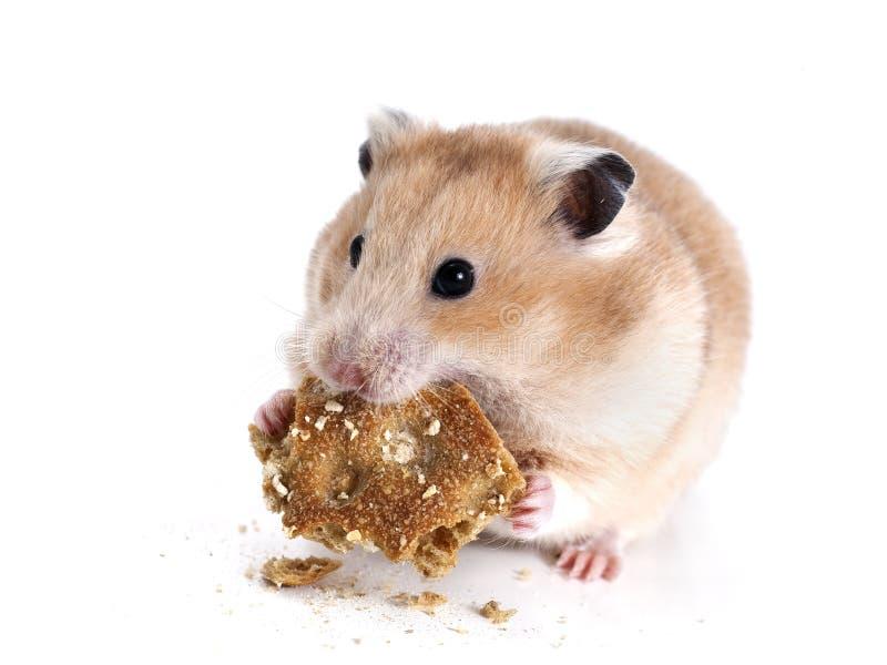 Hamster fotografia de stock royalty free