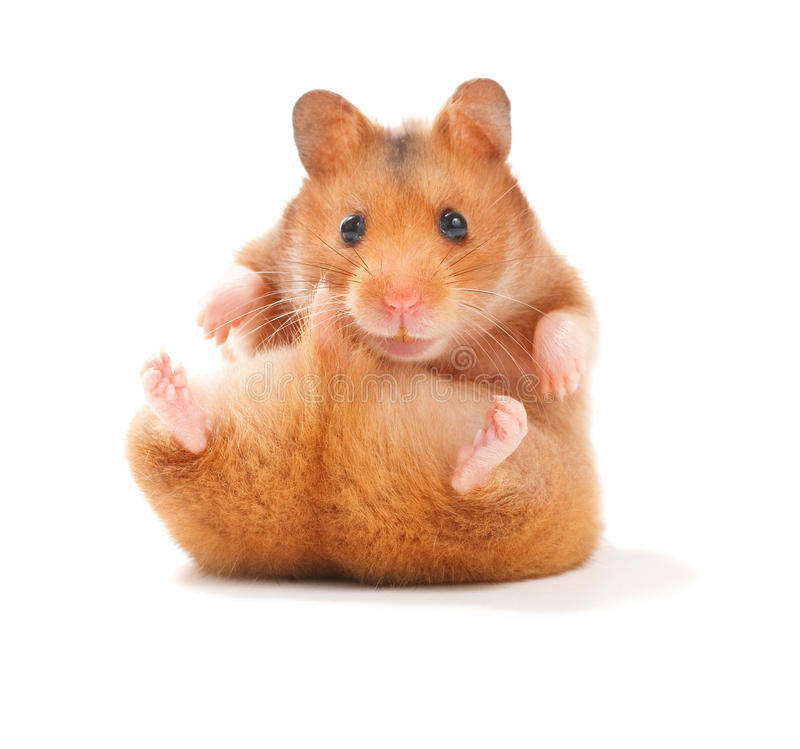 Hamster. Very Cute Hamster isolated on a white background