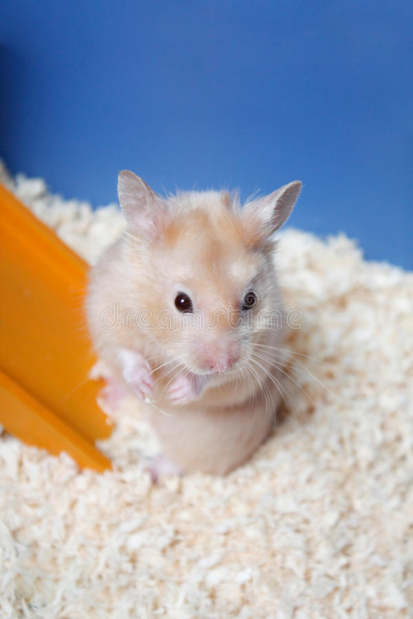 Hamster. A small cute hamster in a cage royalty free stock photography