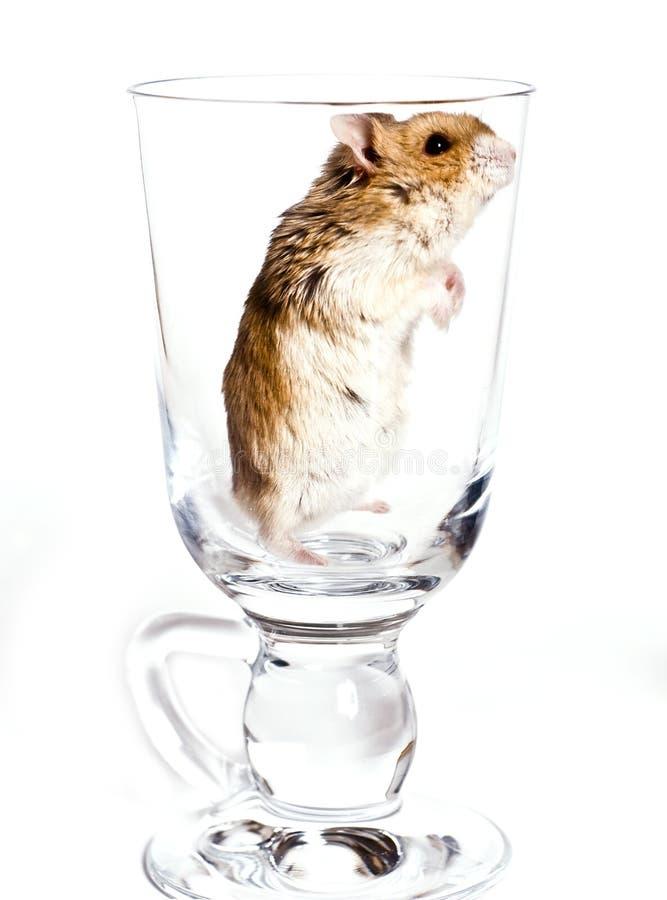 Hamster images libres de droits
