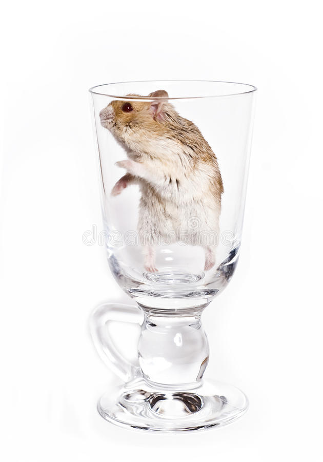 Download Hamster stock image. Image of funny, domestic, furry - 12650903