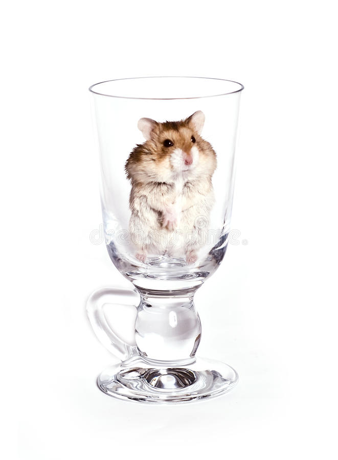 Download Hamster Royalty Free Stock Photo - Image: 12650905