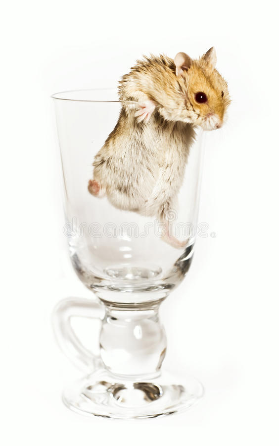 Download Hamster stock image. Image of hamster, humor, isolate - 12650909