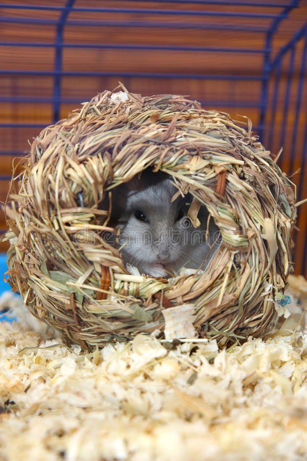 Hamster. Little hamster in a in nest made from hay stock images