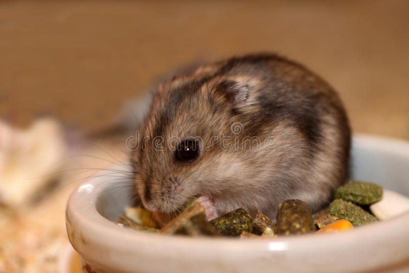 Hamster. Close up of a small hamster royalty free stock photography