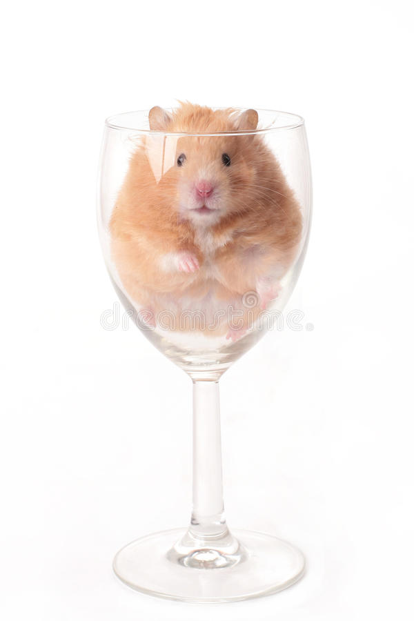 Download Hamster stock photo. Image of animal, funny, pets, rodent - 13691778
