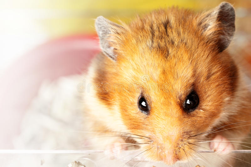 Hamster. Muzzle of red hamster close up stock image