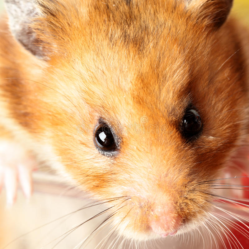 Hamster. Muzzle of red hamster close up royalty free stock image