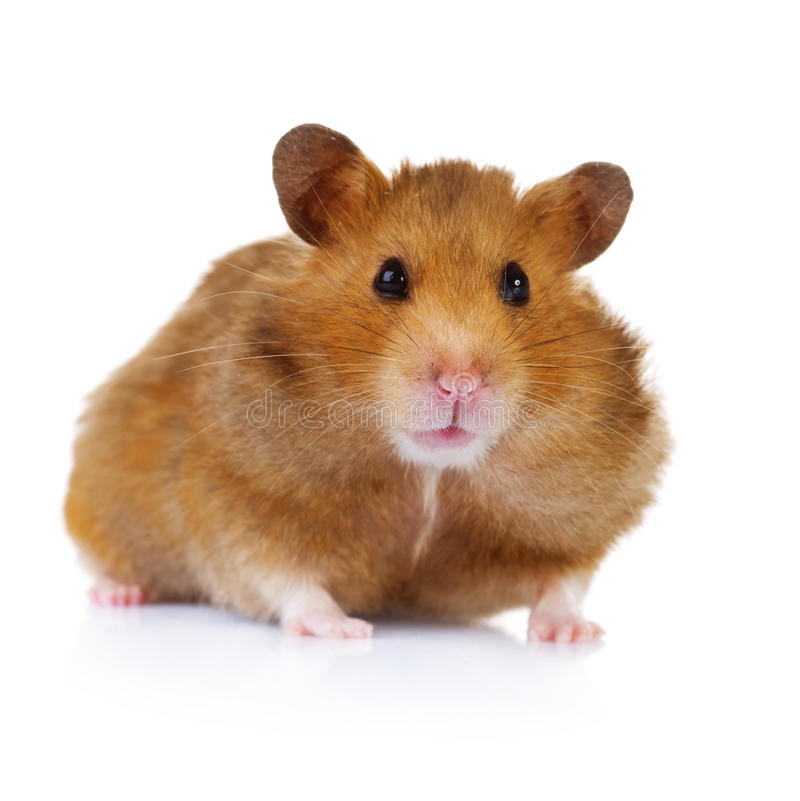 Free Hamster Stock Image - 17983511
