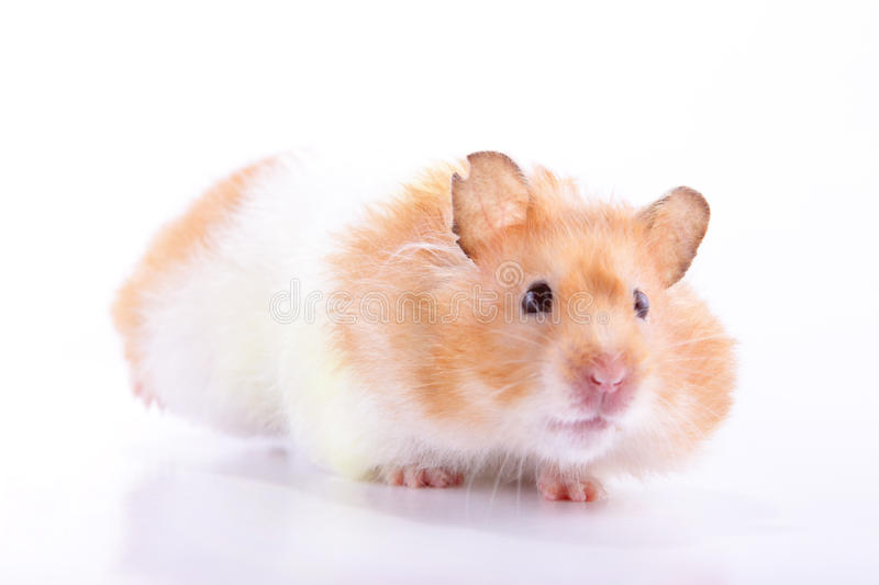 Hamster. A female Syrian hamster with food in its cheek pouches scampering back to its nest against a light background stock photo