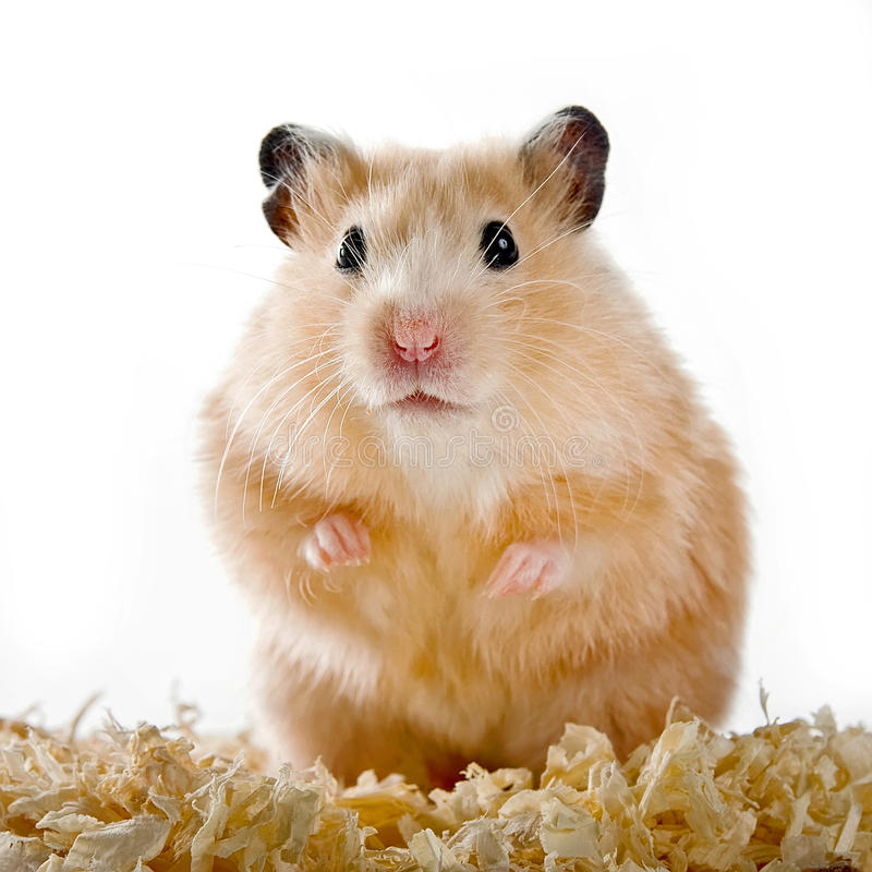 Hamster foto de stock royalty free