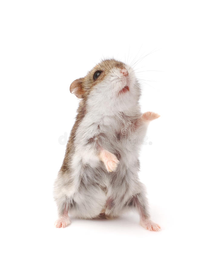 Hamster. Sitting up isolated on white royalty free stock image