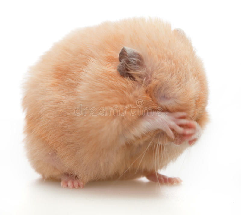 Download Hamster stock photo. Image of cute, close, white, shot - 20818230