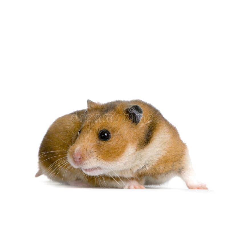 Hamster photographie stock libre de droits