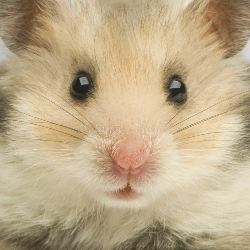 Hamster photos libres de droits