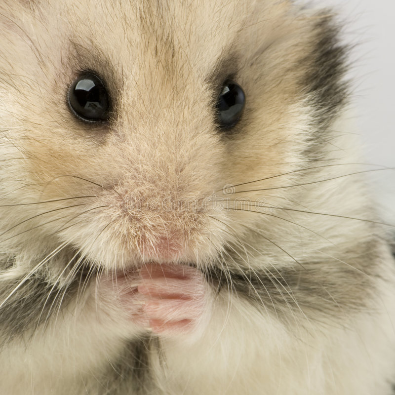 Hamster. Close up of a cute Hamster in front of a white background royalty free stock images