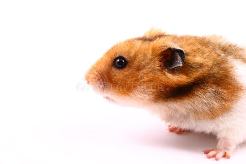 Hamster. Ear, eye, funny, fur,fuzzy, gerbil hair stock images
