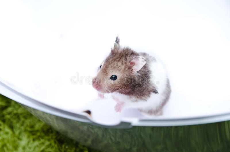 Hamster Stock Photos