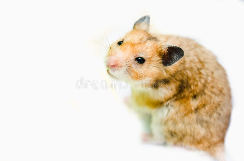 Hamster. View of a hamster taken in high key lighting stock image