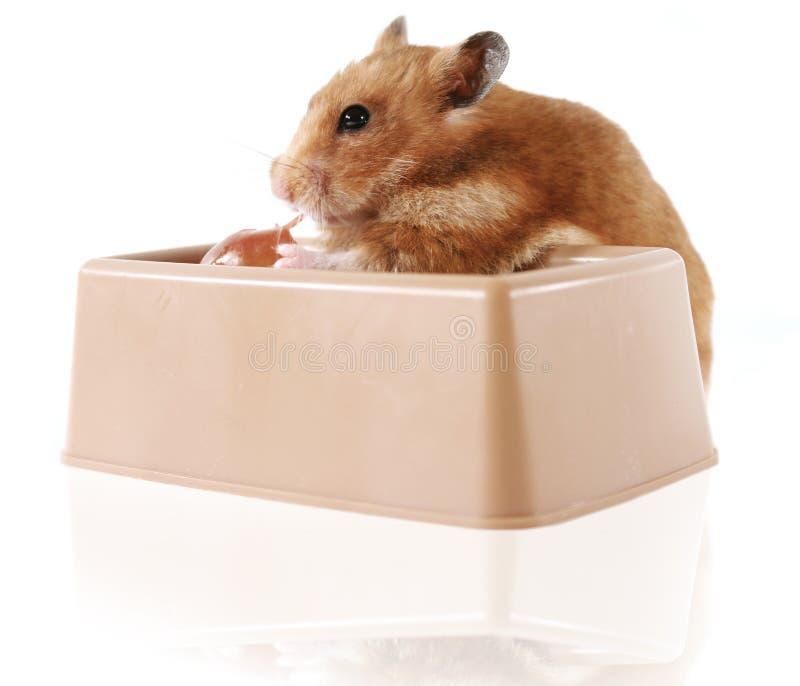 Hamster stock foto
