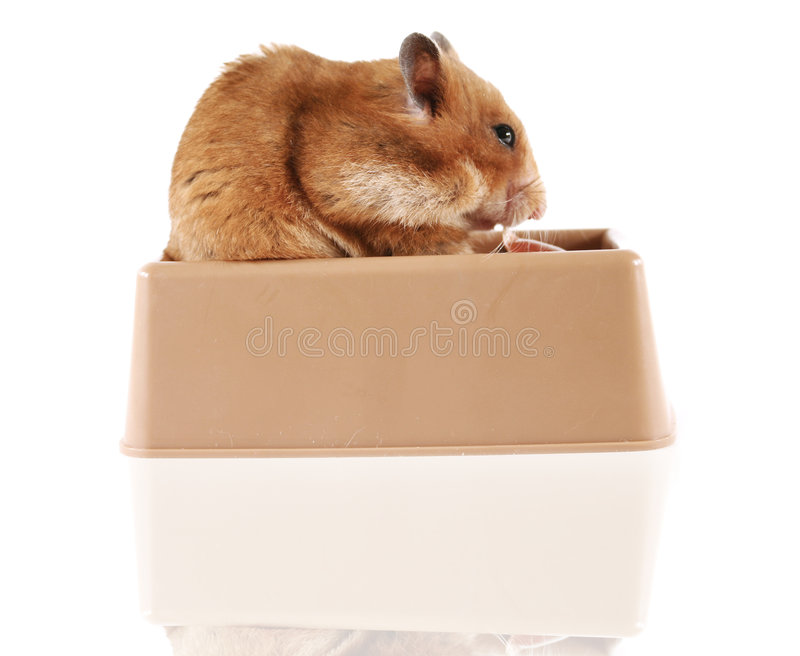 Hamster photos stock