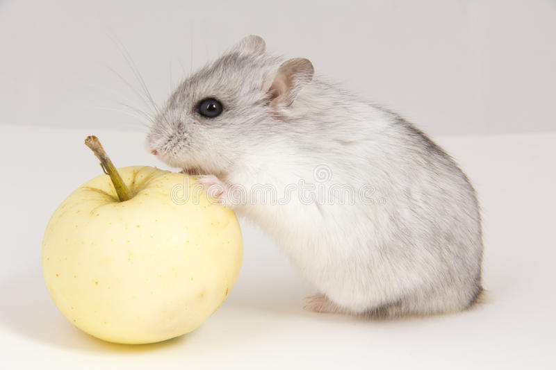 Download Hamster stock photo. Image of background, small, animal - 26658872