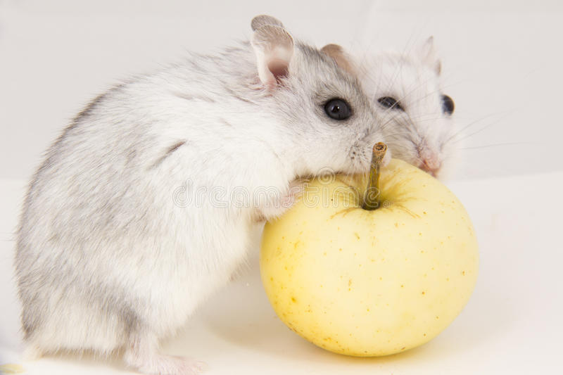 Download Hamster stock photo. Image of apple, looks, animal, mouse - 26659032