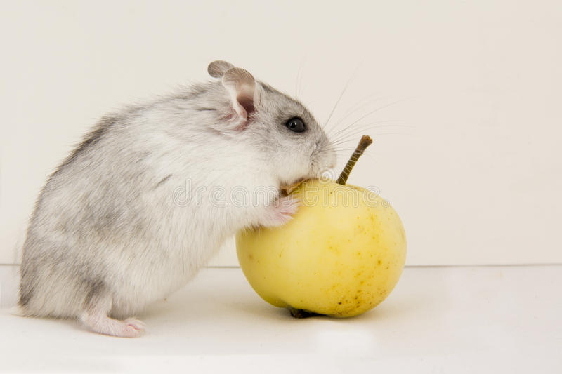 Download Hamster stock photo. Image of sitting, apple, small, white - 26659098