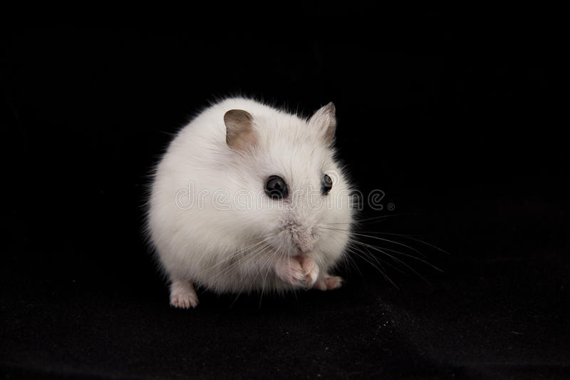 Download Hamster stock photo. Image of black, fluffy, sitting - 26659192