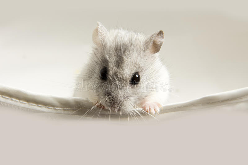 Download Hamster stock image. Image of white, mouse, looks, gnaws - 26659443