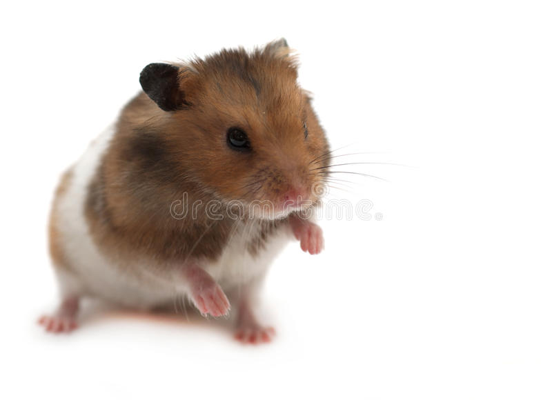 Hamster image stock