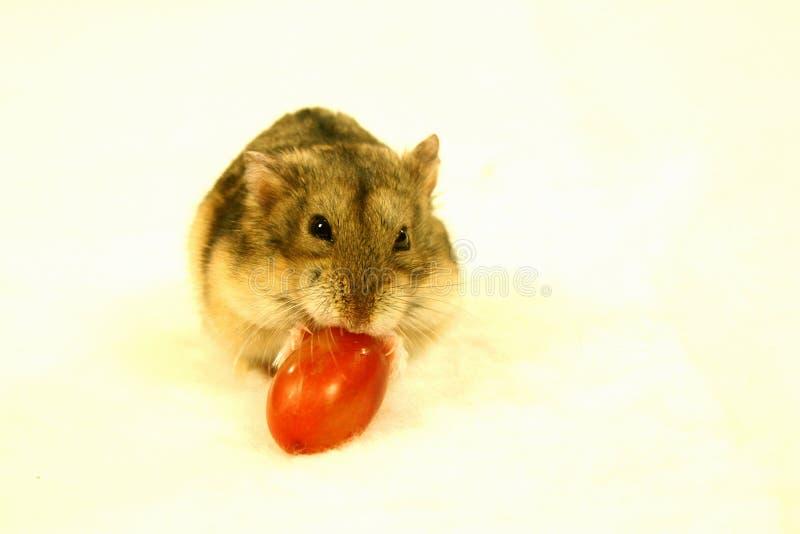 Hamster 3 photos libres de droits
